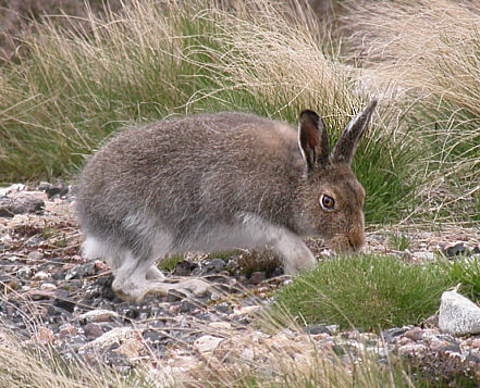 Mountain Hare – moulting into summer pelage – Scotland May 2004