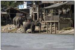 Asian Elephants in Thailand. Image provided by Classroom Clip Art (http://classroomclipart.com)