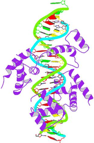 Pit-1 homeobox-containing protein bound to DNA