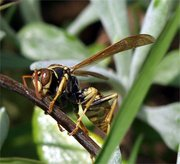 Wasp, Southern California. Image provided by Classroom Clip Art (http://classroomclipart.com)