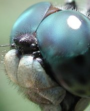 Compound eye of a