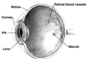 Diagram of a  eye. Note that not all eyes have the same anatomy as a human eye.
