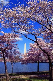 Washington, D.C. Tidal Basin showing cherry trees in flower