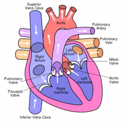 Anterior (frontal) view of the opened heart. White arrows indicate normal blood flow. (SVG version)