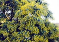 A large shrub of the widely cultivated Cootamundra Wattle, Acacia baileyana