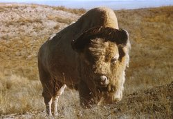 """Big Medicine"" A white Bison which lived at the National Bison Range, Montana from 1933-1959"