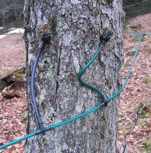 Two taps in a Maple tree using plastic tubing for sap collection.